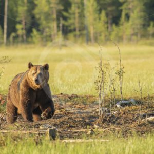 Brown bear approaching in the sunlight - Nature Stock Photo Agency