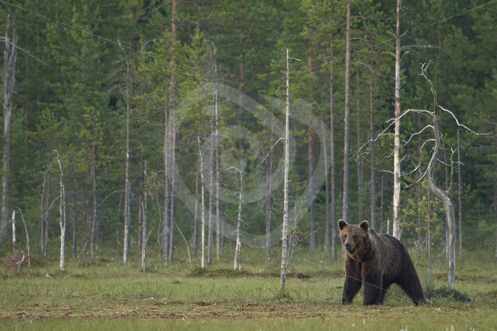 Brown bear close to the forest border - Nature Stock Photo Agency