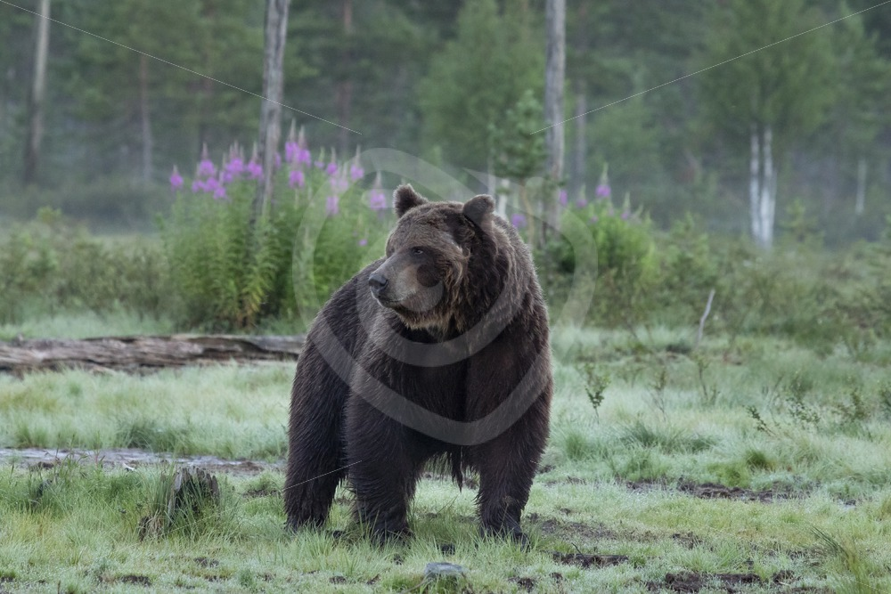 Brown bear close up in the evening - Nature Stock Photo Agency