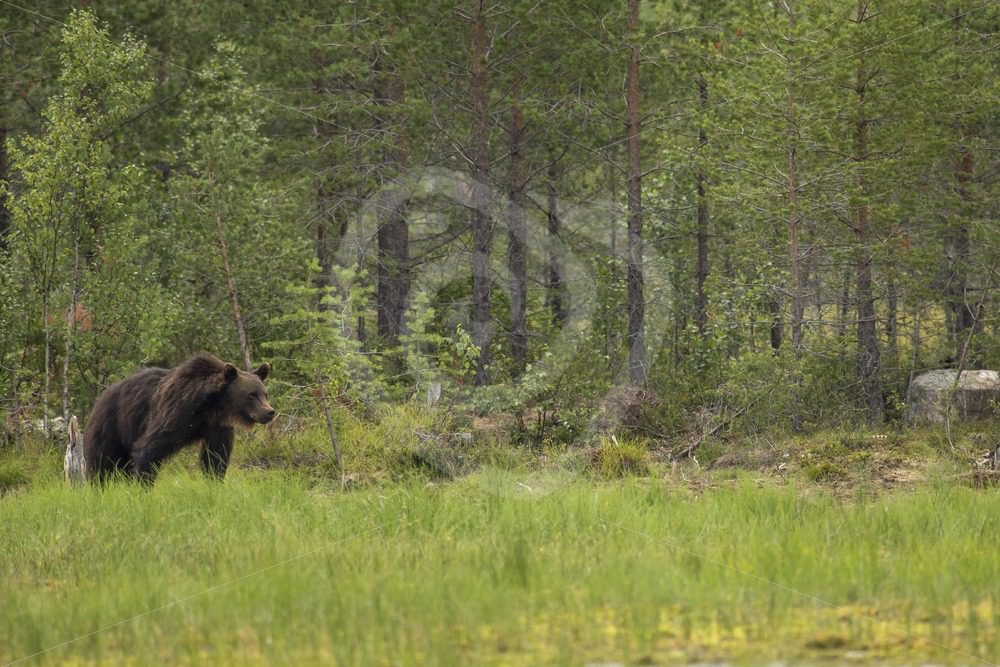 Brown bear coming out of the woods - Nature Stock Photo Agency