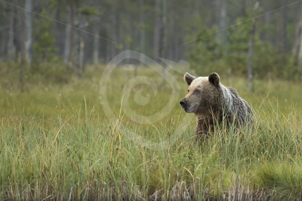 Brown bear in long grass - Nature Stock Photo Agency