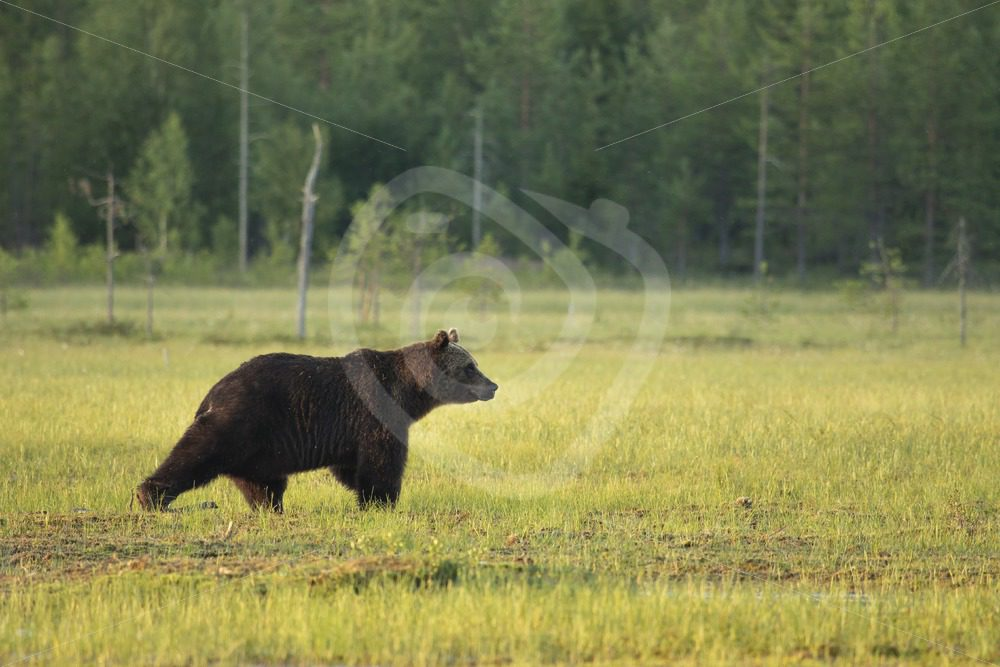 Brown bear looking forward in the field - Nature Stock Photo Agency