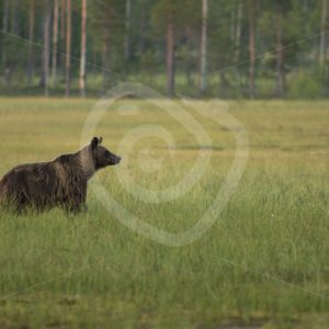 Brown bear looking upfront in the moorland - Nature Stock Photo Agency