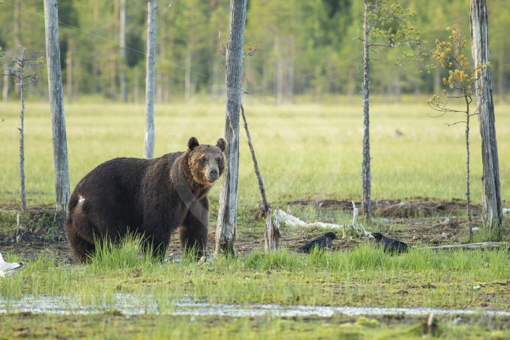 Brown bear near small trees - Nature Stock Photo Agency