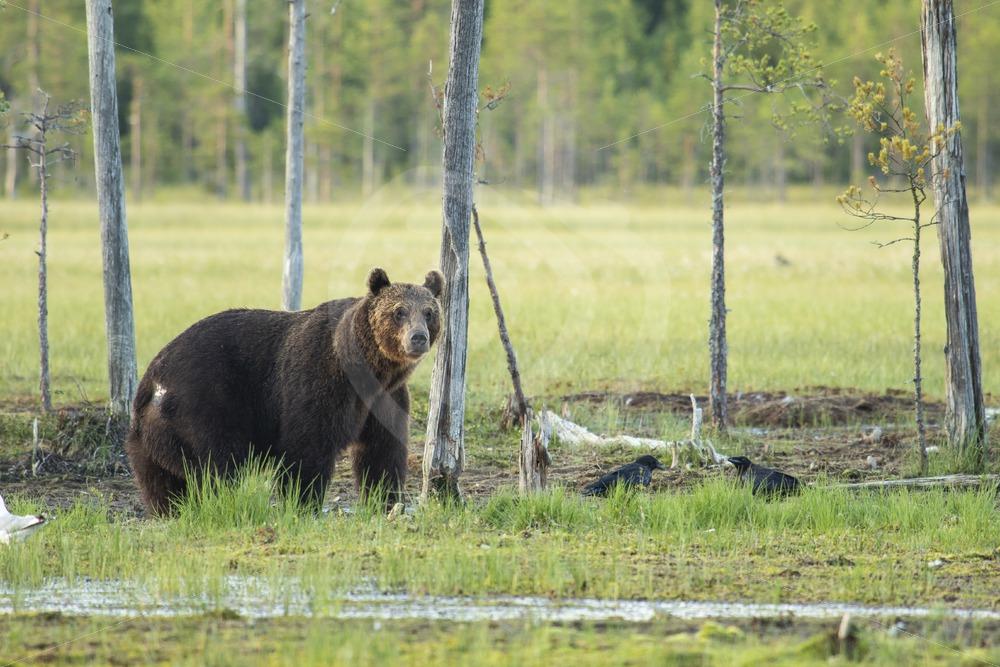 Brown bear near small trees - Nature Stock Photo Agency