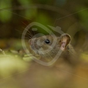 Brown rat coming out of hole - Nature Stock Photo Agency