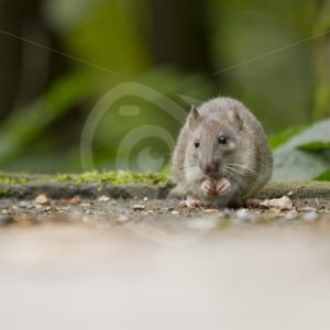 Brown rat eating in the park - Nature Stock Photo Agency
