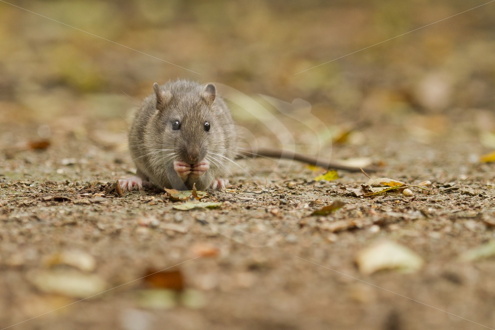 Brown rat in the parc - Nature Stock Photo Agency