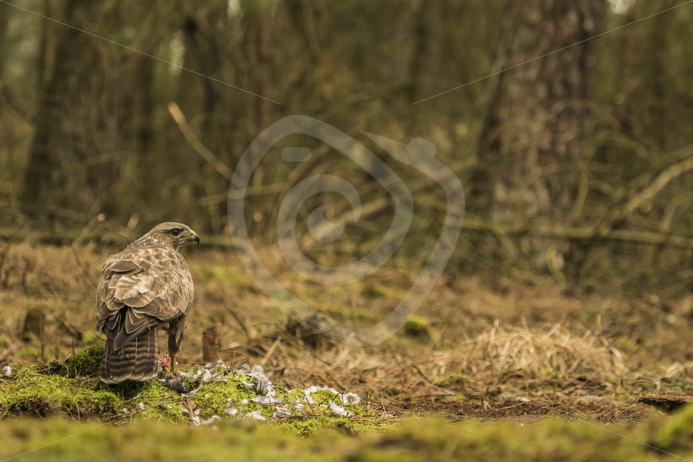 Buzzard in the woods with prey - Nature Stock Photo Agency