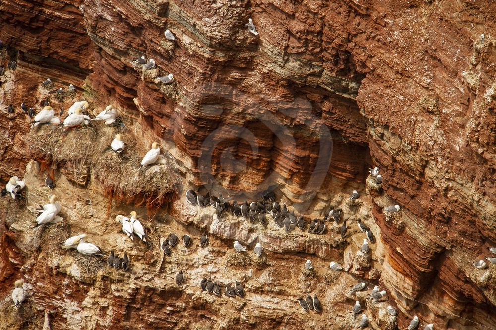 Cliffs full of gannets and murres - Nature Stock Photo Agency