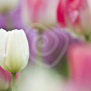 Close up Dutch tulips - Nature Stock Photo Agency
