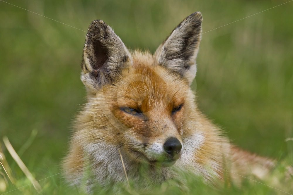 Closeup of a juvenile fox - Nature Stock Photo Agency