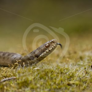 Closeup of a viper - Nature Stock Photo Agency