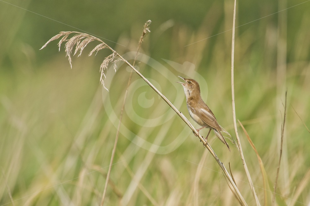 Common grasshopper warbler in the cane - Nature Stock Photo Agency