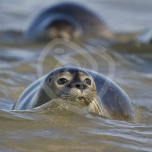 Common harbor seal in the sea - Nature Stock Photo Agency