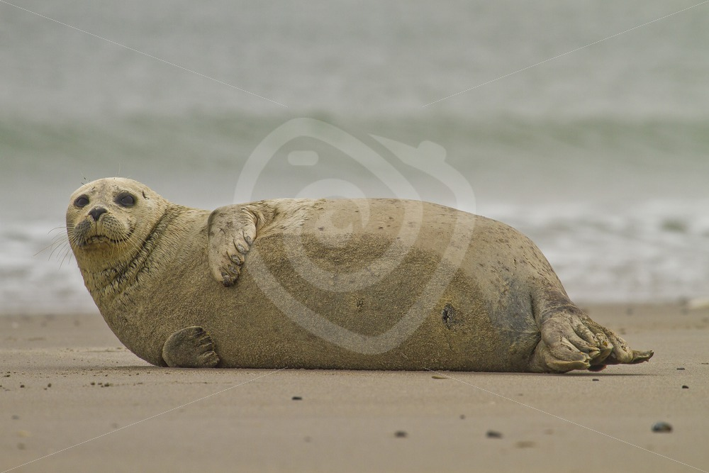 Common harbor seal on the beach - Nature Stock Photo Agency