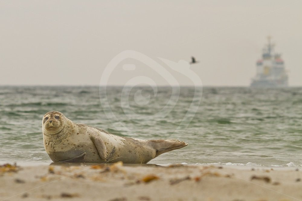 Common harbor seal on the beach with scenery - Nature Stock Photo Agency