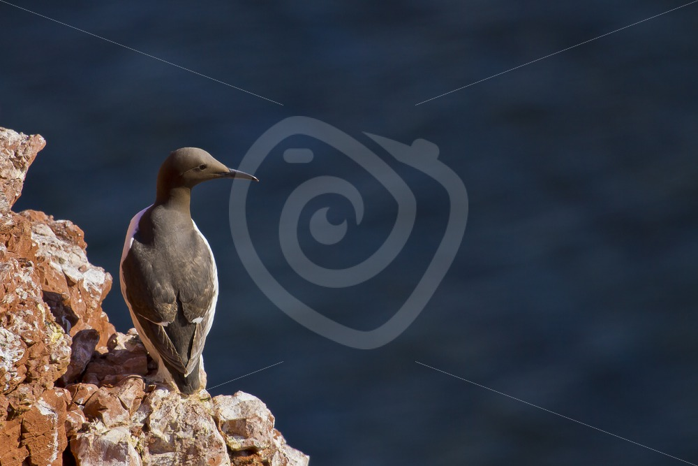 Common murre on a cliff - Nature Stock Photo Agency
