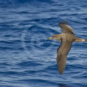 Cory shear-water flying over the water - Nature Stock Photo Agency