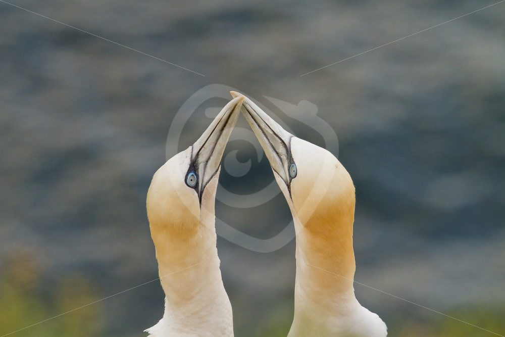 Couple of gannets with mating ritual - Nature Stock Photo Agency