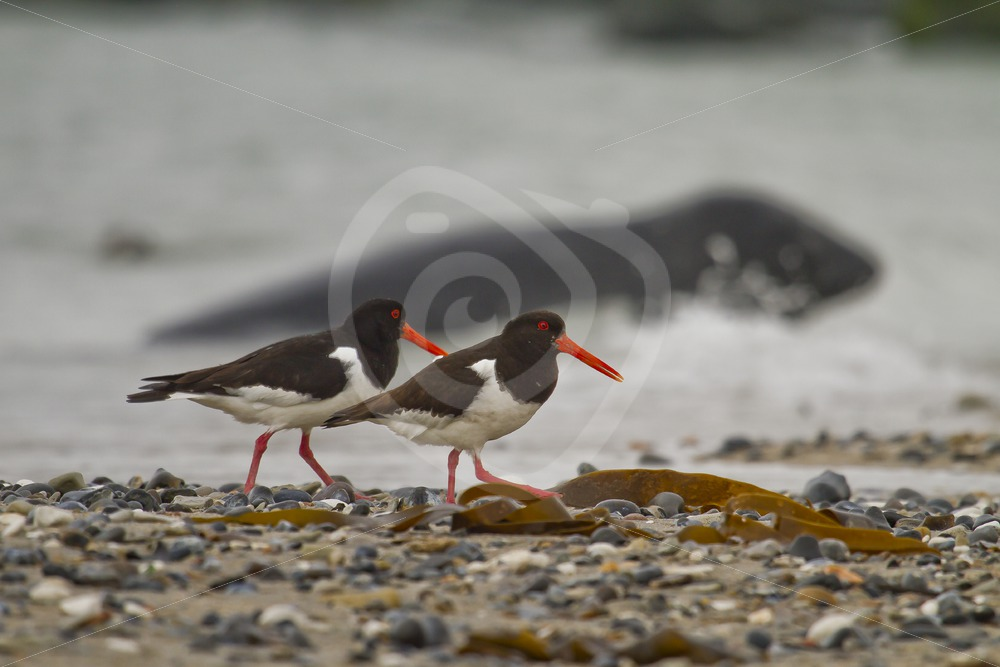 Couple oystercatchers with grey seal in the back - Nature Stock Photo Agency