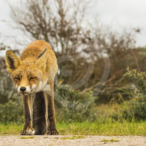Curious Red fox - Nature Stock Photo Agency
