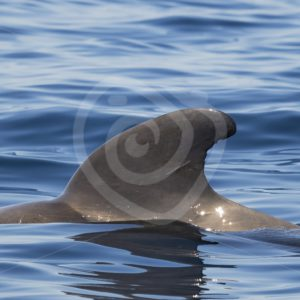 Dorsal fin of large short fin pilot whale - Nature Stock Photo Agency