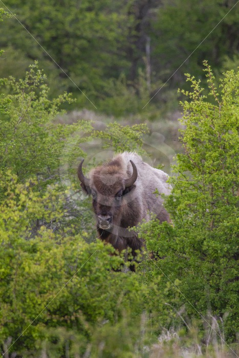 European bison between the bushes - Nature Stock Photo Agency