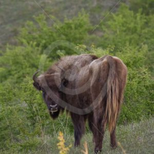 European bison looking back - Nature Stock Photo Agency