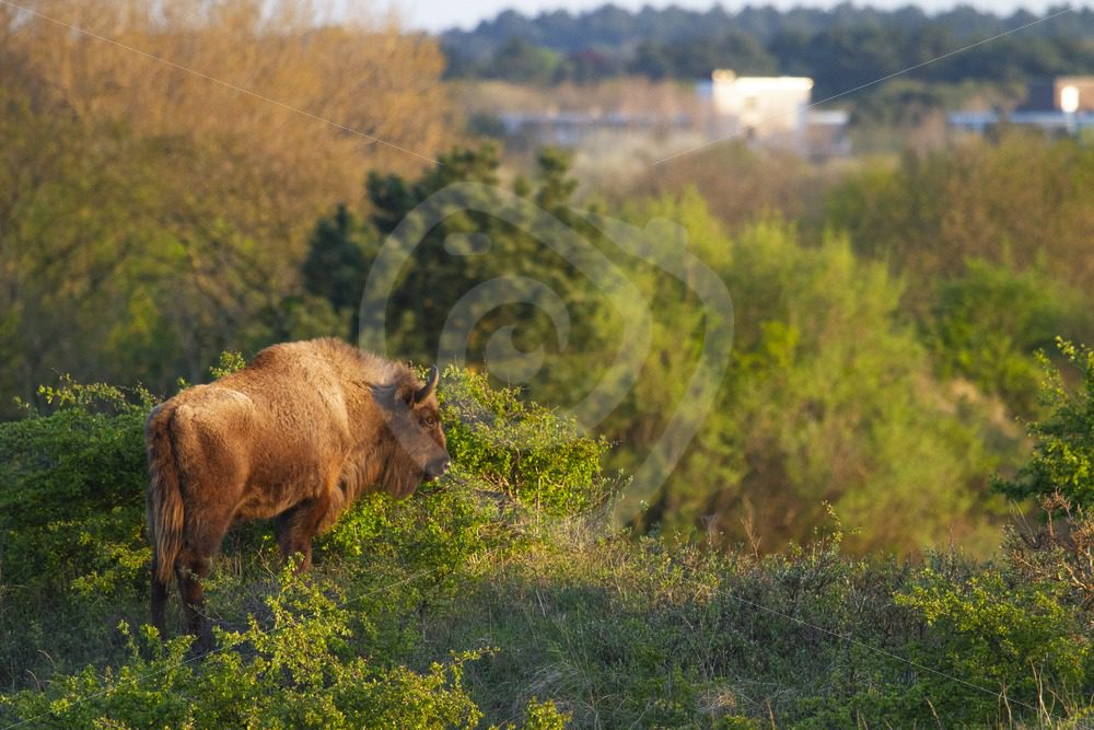 European bison near landhouse - Nature Stock Photo Agency