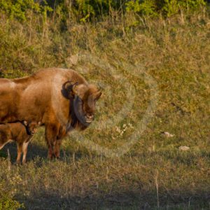 European bison with calf - Nature Stock Photo Agency