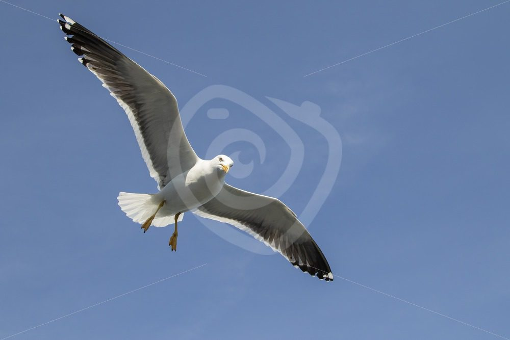 European herring gull from below - Nature Stock Photo Agency