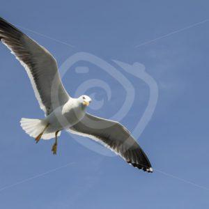 European herring gull from below - Nature Stock Photo Agency