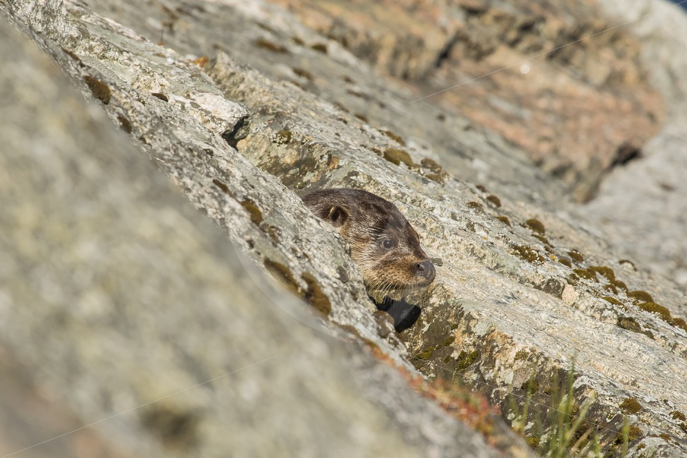 European otter from between the rocks - Nature Stock Photo Agency