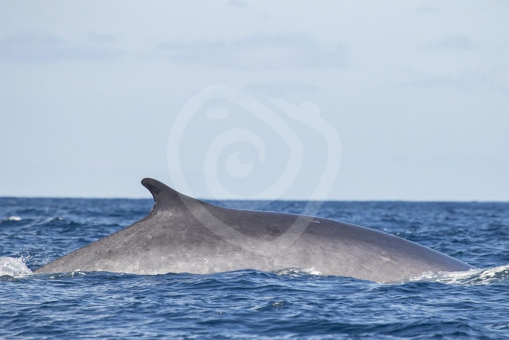 Fin whale passing by - Nature Stock Photo Agency