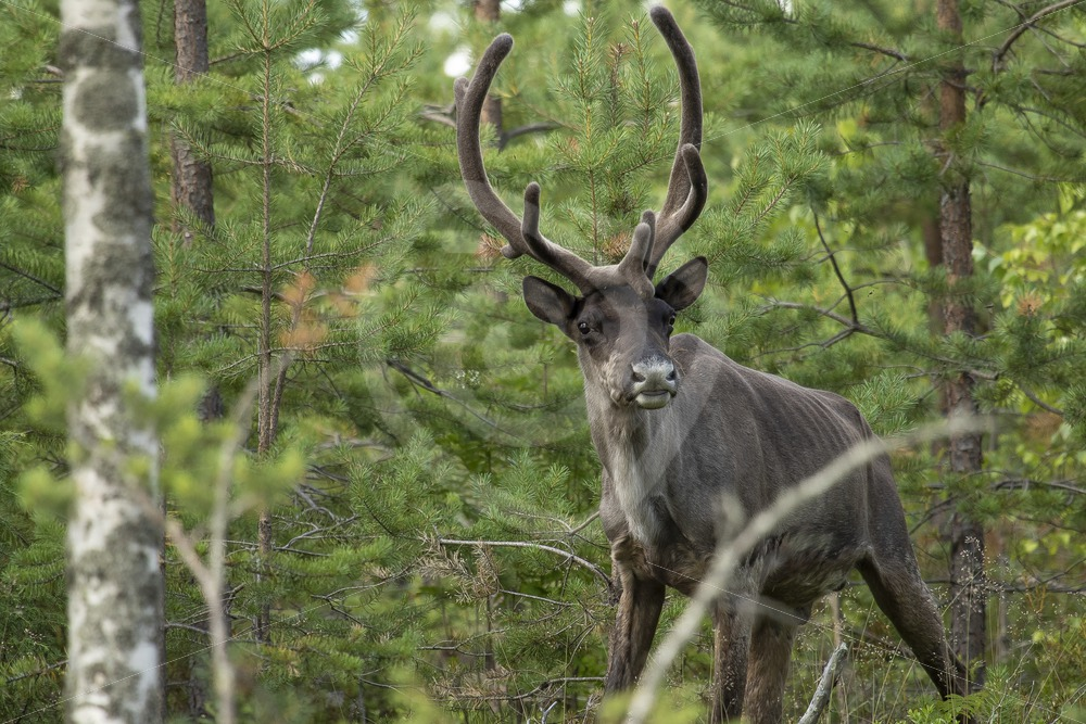 Finnish forest reindeer - Nature Stock Photo Agency