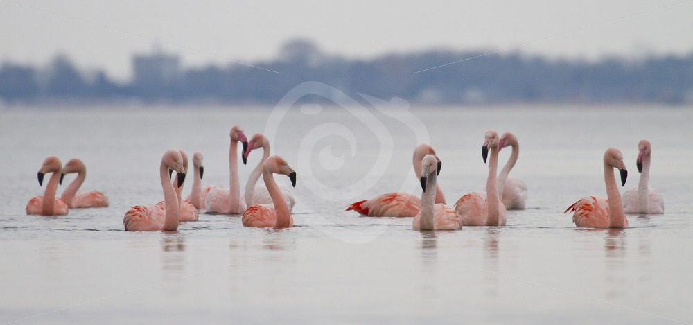 Flamingo group in the water - Nature Stock Photo Agency