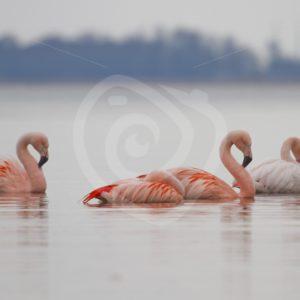 Flamingo's on a lake - Nature Stock Photo Agency