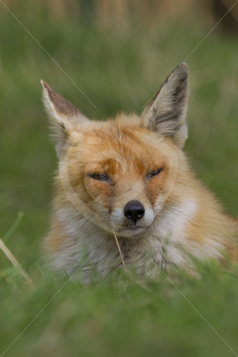 Fluffy fox portrait - Nature Stock Photo Agency