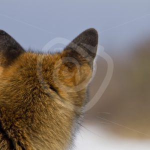 Fox looking away in the snow - Nature Stock Photo Agency