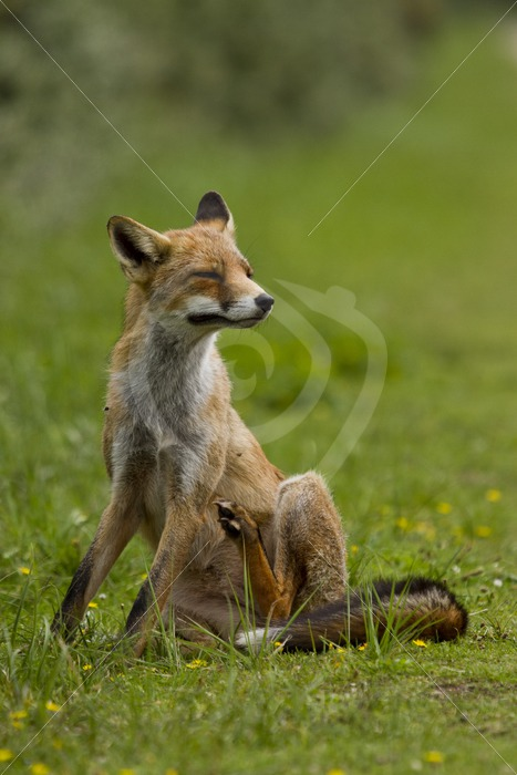 Fox scratching itching - Nature Stock Photo Agency