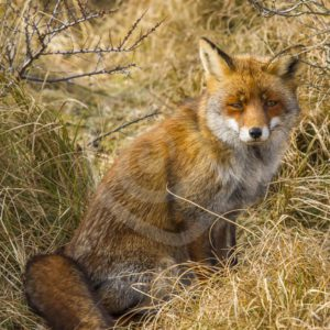 Fox sitting in long grass - Nature Stock Photo Agency