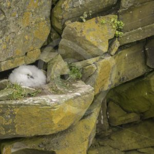 Fullmar chick in the nest - Nature Stock Photo Agency