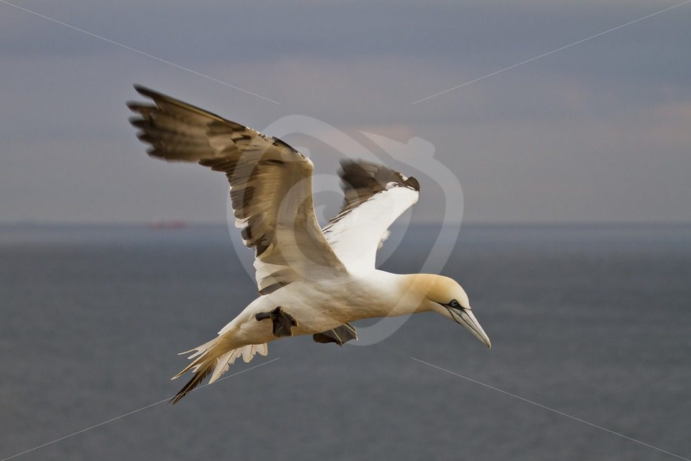 Gannet in flight - Nature Stock Photo Agency