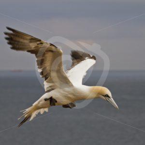 Gannet in flight - Nature Stock Photo Agency