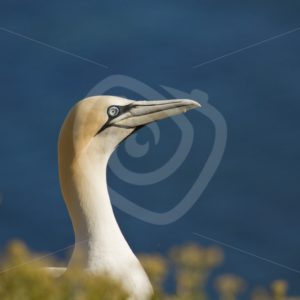 Gannet overlooking the ocean - Nature Stock Photo Agency
