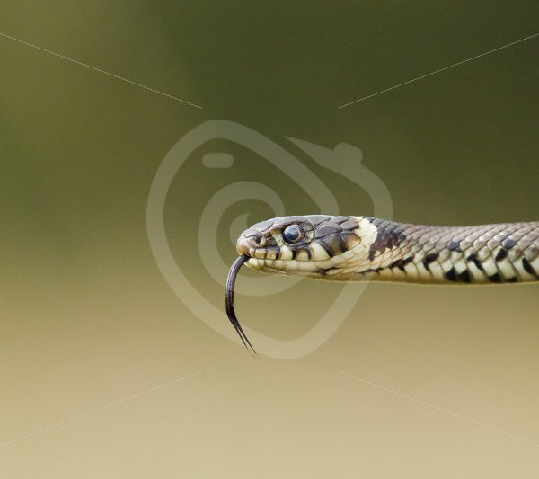 Grass snake closeup - Nature Stock Photo Agency