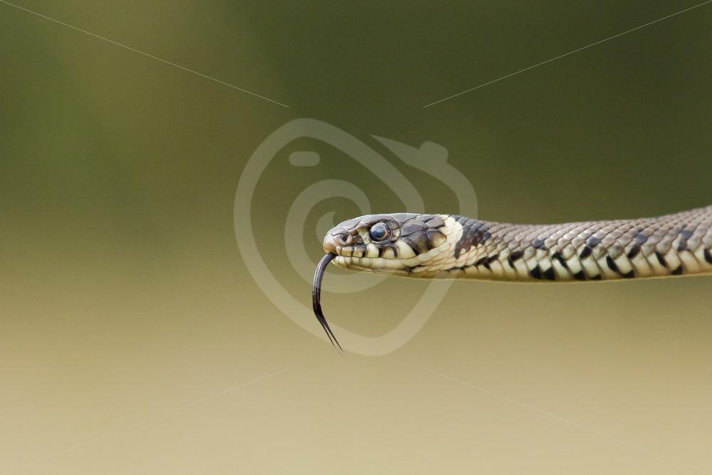 Grass snake closeup - Nature Stock Photo Agency