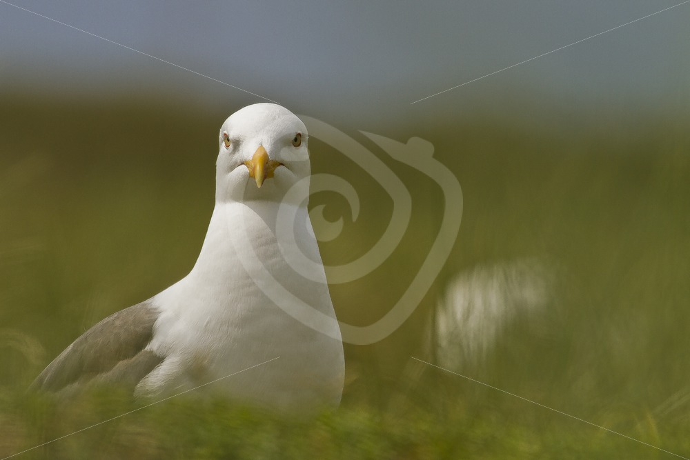 Great black-backed gull closeup - Nature Stock Photo Agency