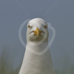Great black-backed gull front view closeup - Nature Stock Photo Agency